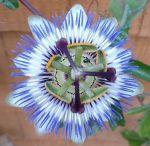 passion-flower-1
